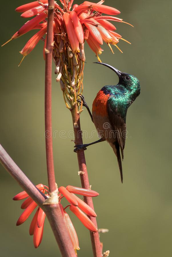 Południowy Dwoisty Kołnierzasty Sunbird obraz royalty free