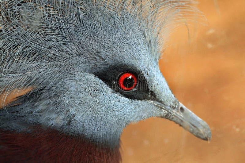 Południowy Koronowany gołąb (Goura scheepmakeri) zdjęcia stock