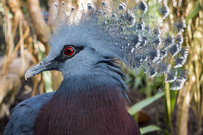 Południowy koronowany gołębi Goura scheepmakeri obrazy royalty free