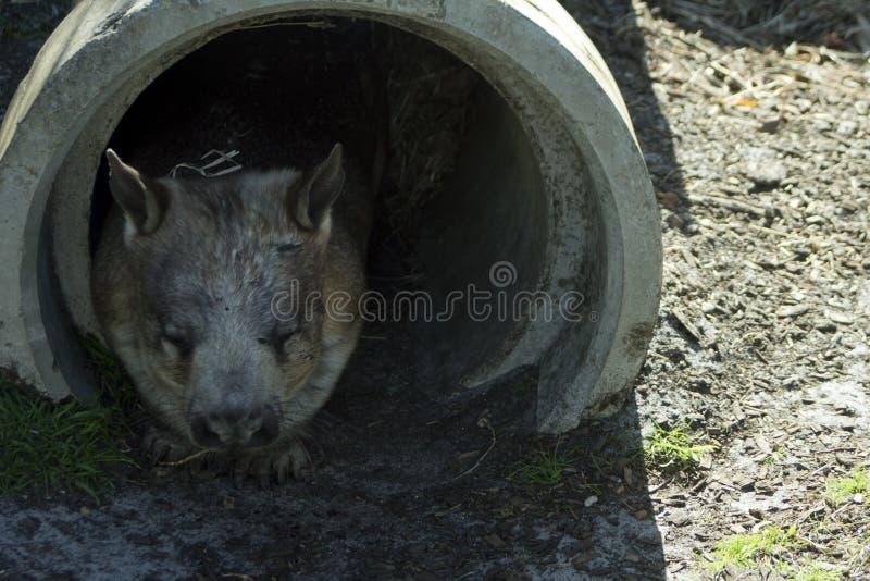 Południowy Kosmaty Ostrożnie wprowadzać Wombat, Albany, WA, Australia obrazy royalty free