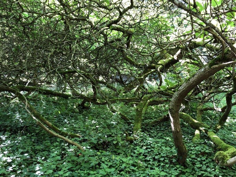 Południowy surmia, Cigartree, drzewo, Tubowy drzewo, surmiów bignonioides Mainau lub Trompetenbaum kwiatu wyspa, fotografia stock
