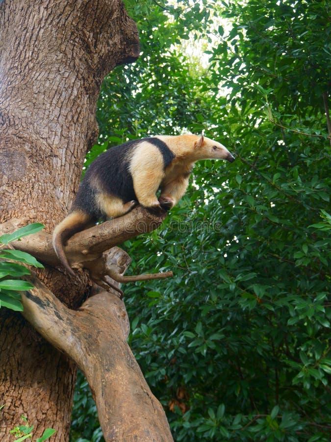 Południowy tamandua na drzewie, także dzwoniącym kołnierzasty anteater zdjęcia stock