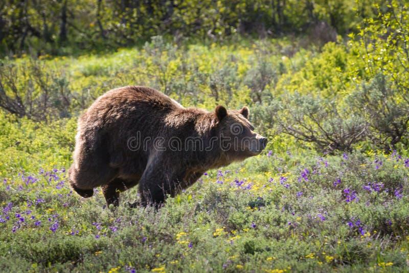 Pościg! Grizzly niedźwiedzia locha broni jej terytorium obrazy royalty free