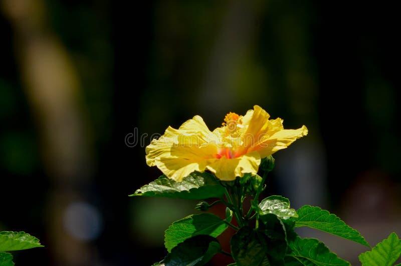 Poślubnik jest popularnym ornamentacyjnym rośliną r dookoła świata zdjęcia royalty free
