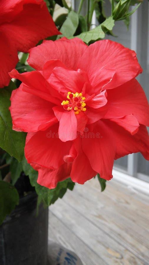 poślubnik kwitnąca czerwień zdjęcie stock