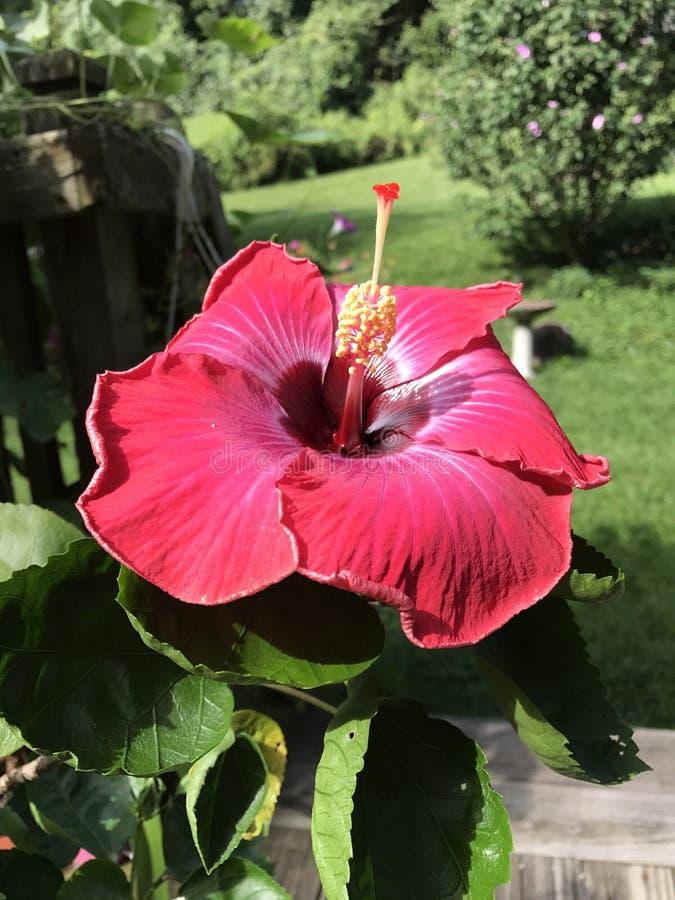 Poślubnik w lato ogródzie obrazy stock
