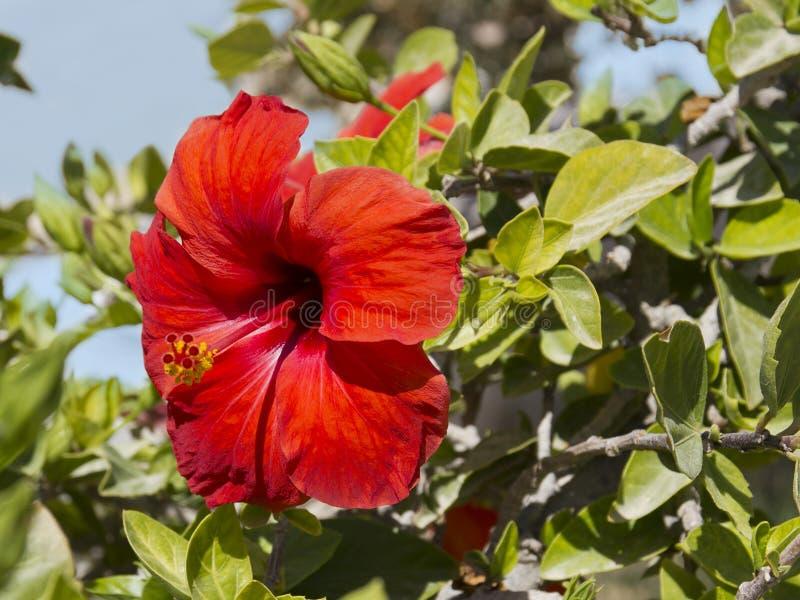 Poślubnika czerwony kwiat Egzot kwitnie w Afryka zdjęcie stock