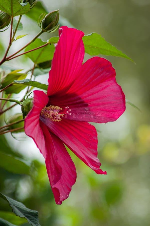 Poślubnika kwiat z czerwonym płatkiem obraz royalty free