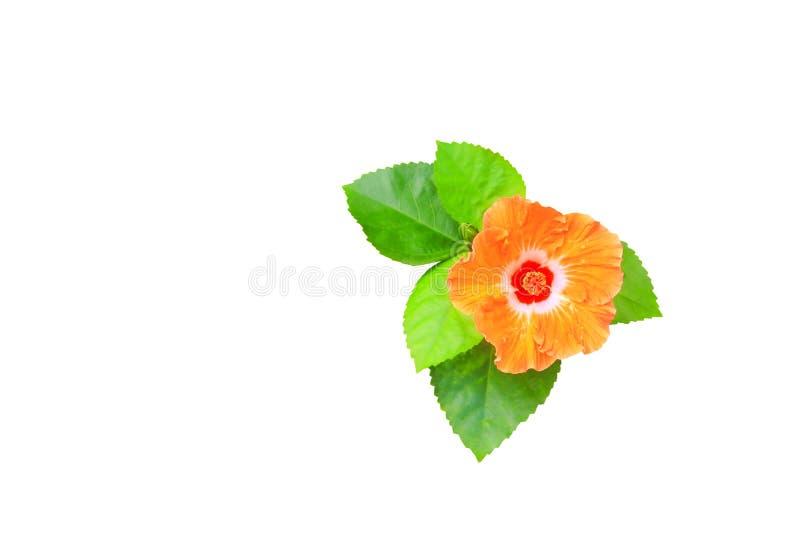 Poślubnika liścia i kwiatu pomarańczowy zielony świeży odosobniony na białej ścieżce zdjęcia stock