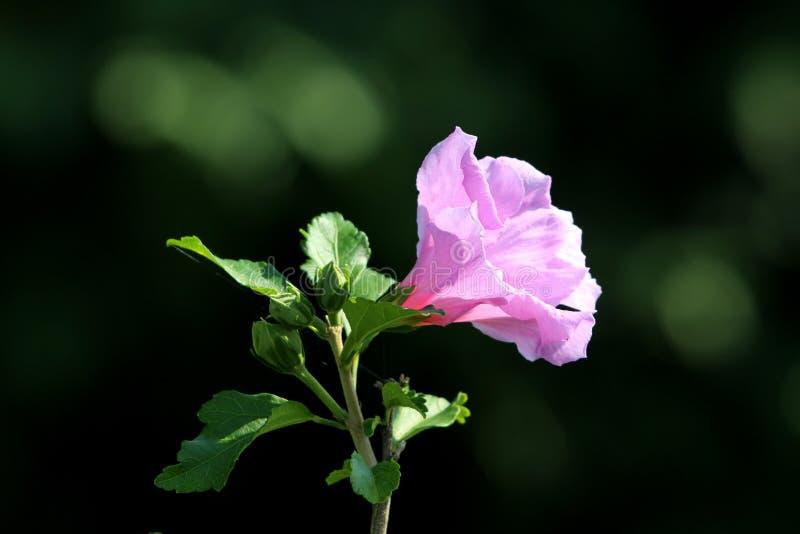 Poślubnika syriacus lub róża Sharon trąbka kształtujący pojedynczy kwiat z kwiatów pączkami na ciemnozielonym liścia tle obrazy stock