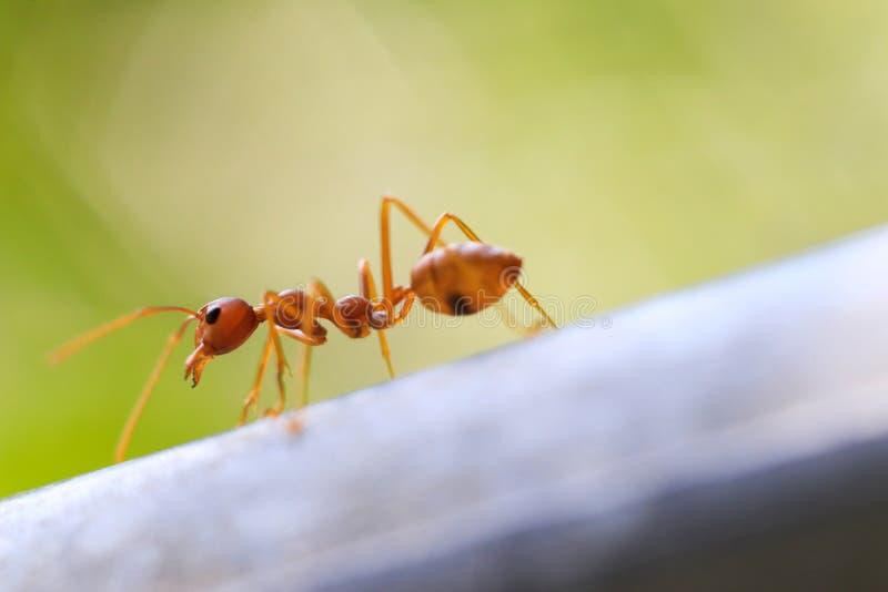 Pożarnicza mrówka w naturze z makro- fotografią zdjęcia royalty free