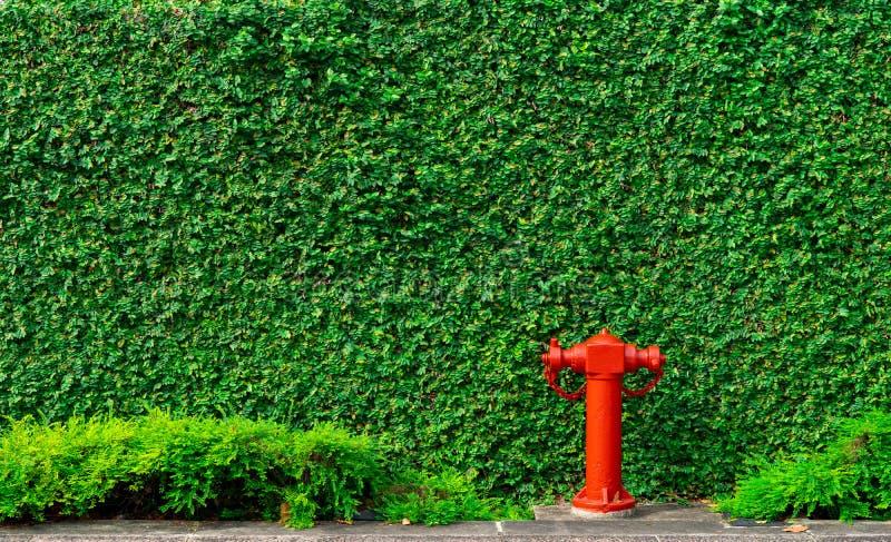Pożarniczego bezpieczeństwa pompa na tekstury tle zieleni liście bluszcz ściana w mieście na betonowej podłodze Potopu system poż obrazy stock