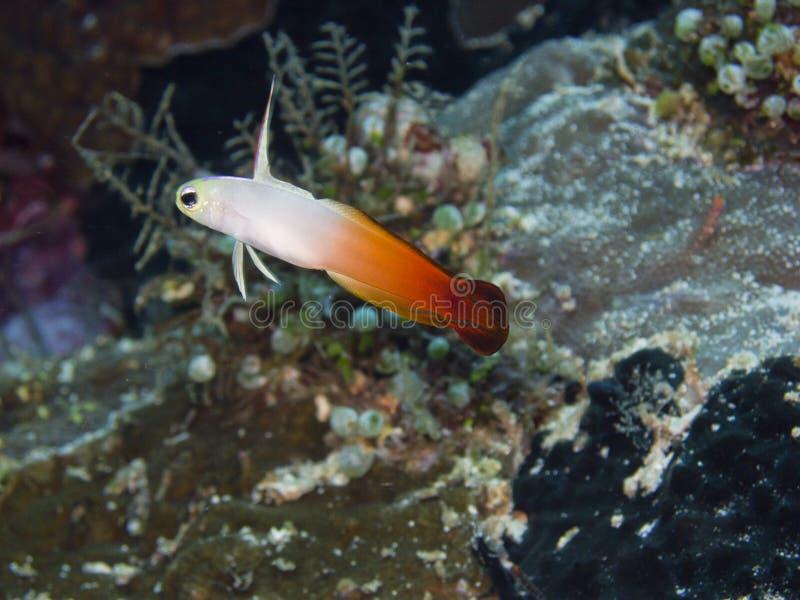 Pożarniczy dartfish obraz royalty free