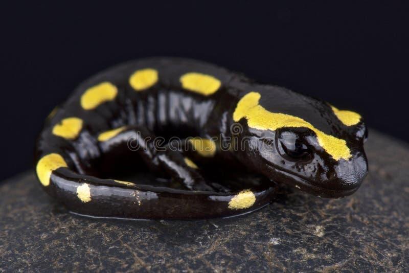 Pożarniczy jaszczur (Salamandra salamandra) zdjęcie royalty free