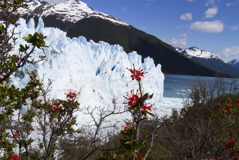 Pożarniczy krzak przy Perito Moreno lodowem, Los Glaciares park narodowy, zdjęcia royalty free
