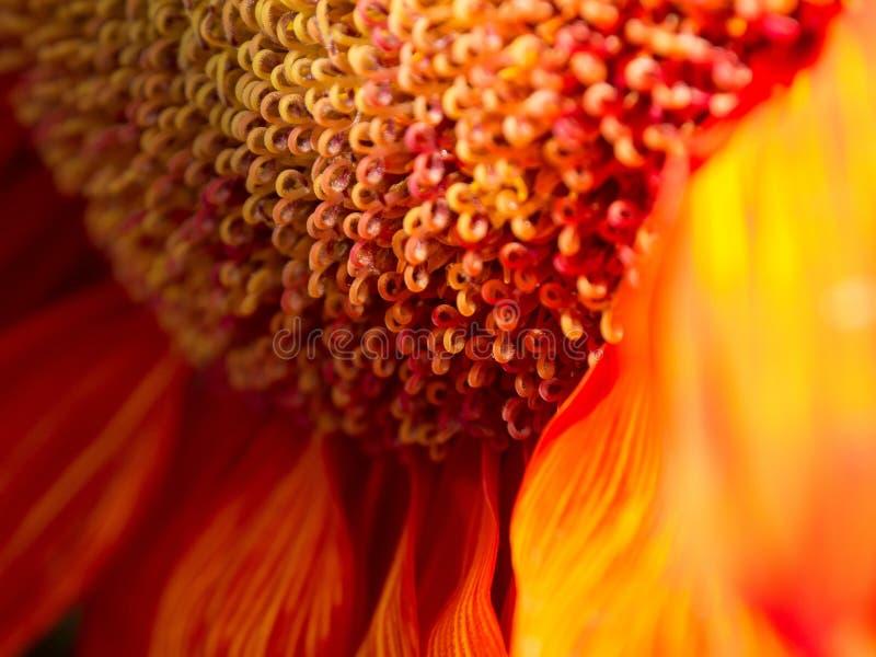 Pożarniczy kwiatu zakończenie Up fotografia royalty free