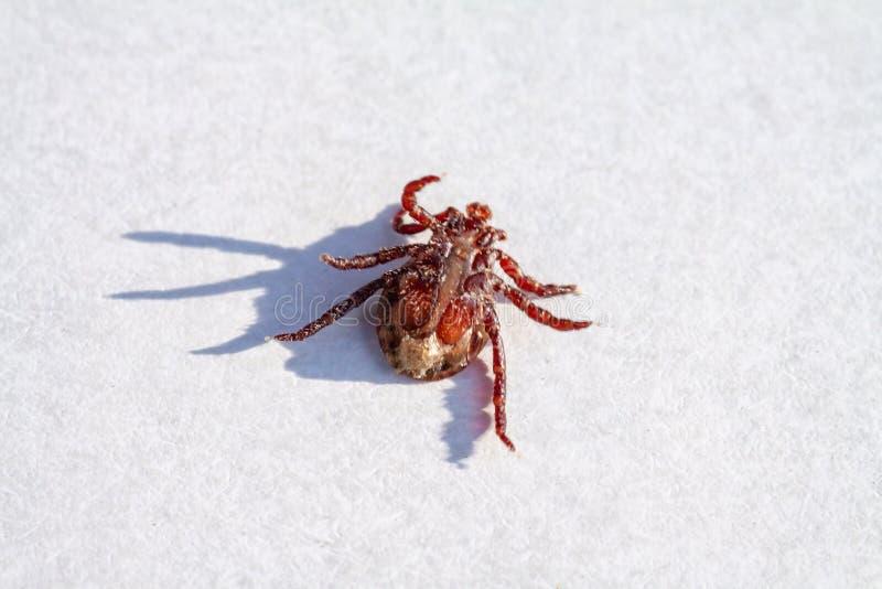 Pożarty nieboszczyka cwelicha próbki lying on the beach na swój plecy zdjęcie royalty free