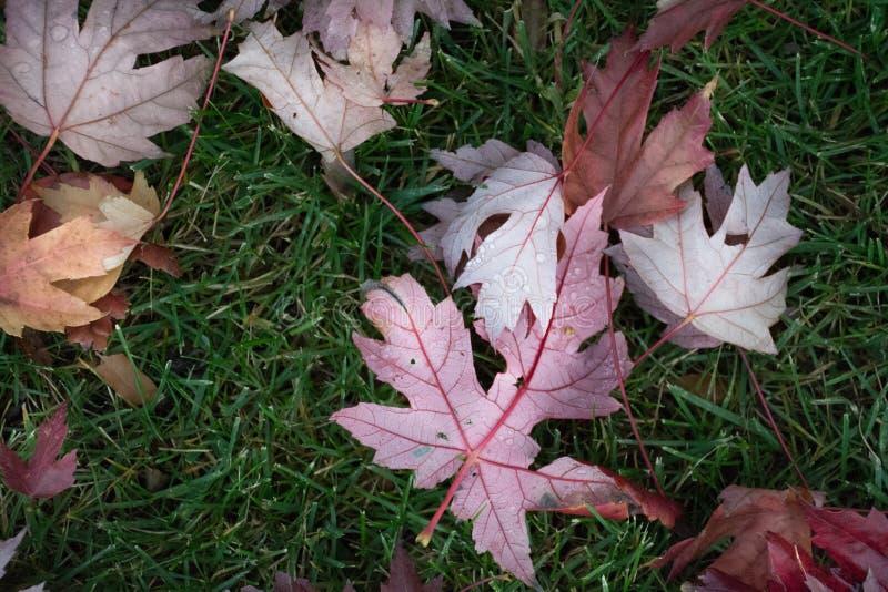 Po deszczu w sezonie jesiennym, opuszcza spadać daleko drzewo obraz royalty free