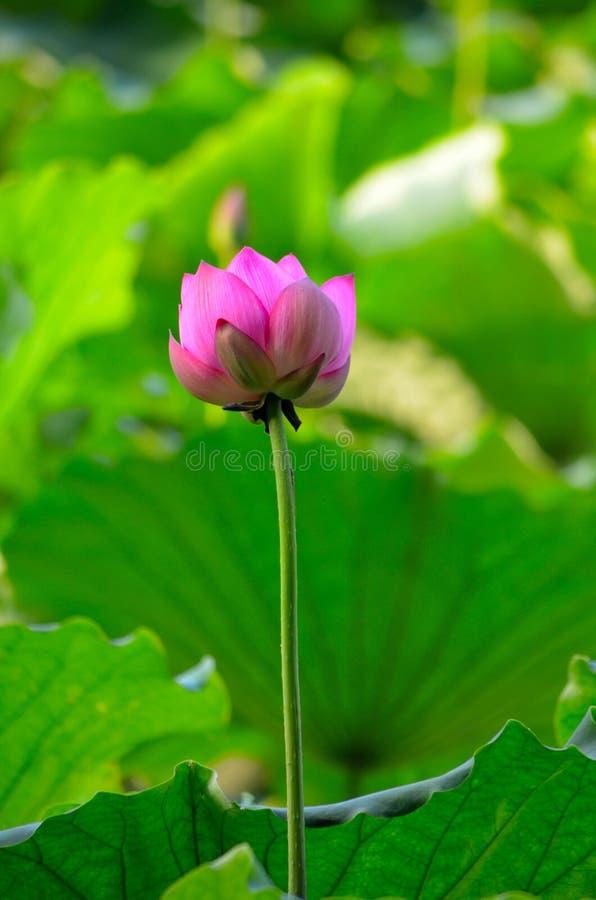 Po Lotus zdjęcie stock