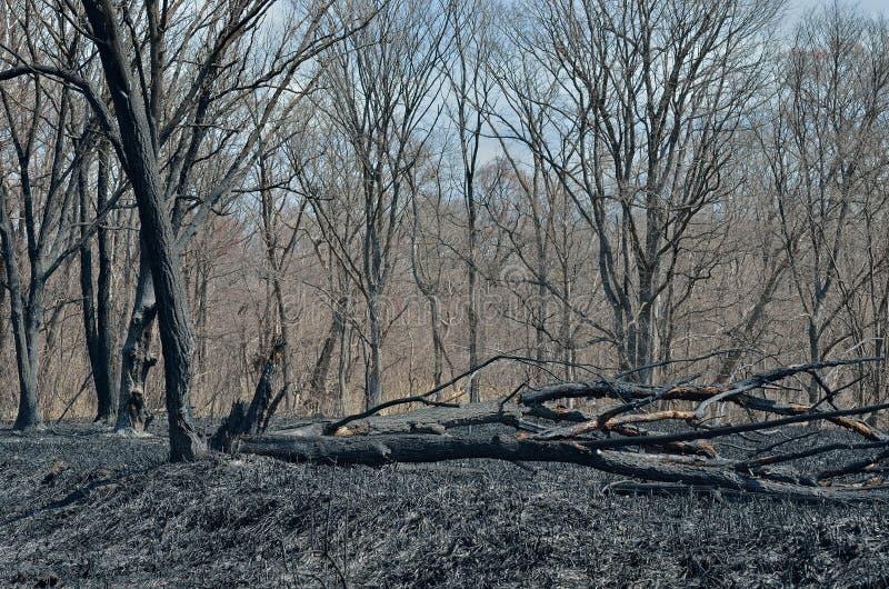 Po pożaru lasu 13 obrazy royalty free