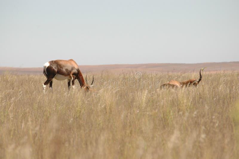 Download Południowe Africa antylopy obraz stock. Obraz złożonej z południe - 13331373