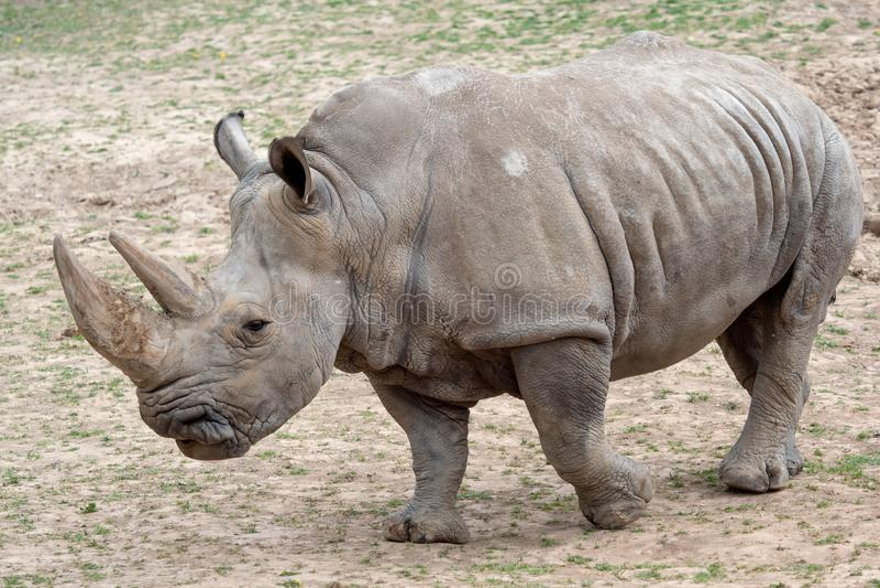 Po?udniowy bia?ej nosoro?ec Ceratotherium simum simum Krytycznie zagra?aj?cy zwierz?cy gatunki zdjęcia royalty free