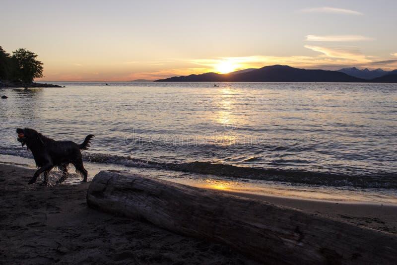 Po wielcy psi potrząśnięcia wynikali wodę przy zmierzchem zdjęcie stock