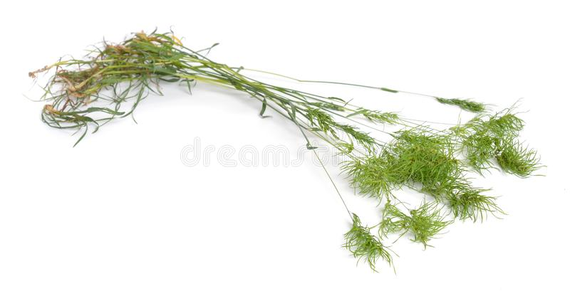 Poa alpina, commonly known as alpine meadow-grass or alpine bluegrass. Isolated.  royalty free stock photo