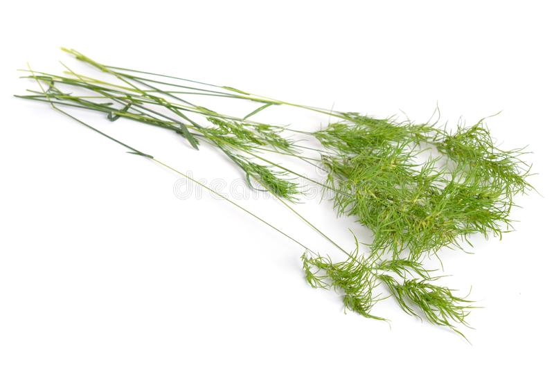 Poa alpina, commonly known as alpine meadow-grass or alpine bluegrass. Isolated.  stock image