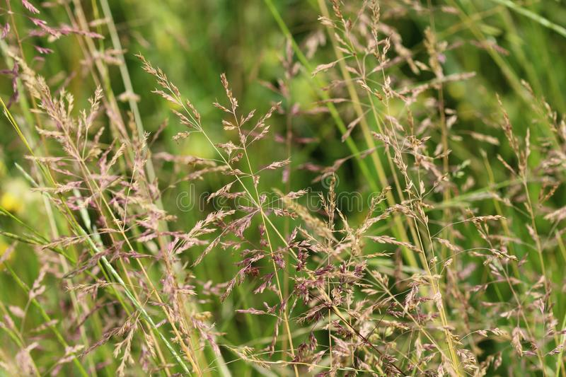 Poa pratensis, commonly known as Kentucky bluegrass, blue grass, smooth meadow grass, or common meadow grass. Close up of Kentucky bluegrass stock images