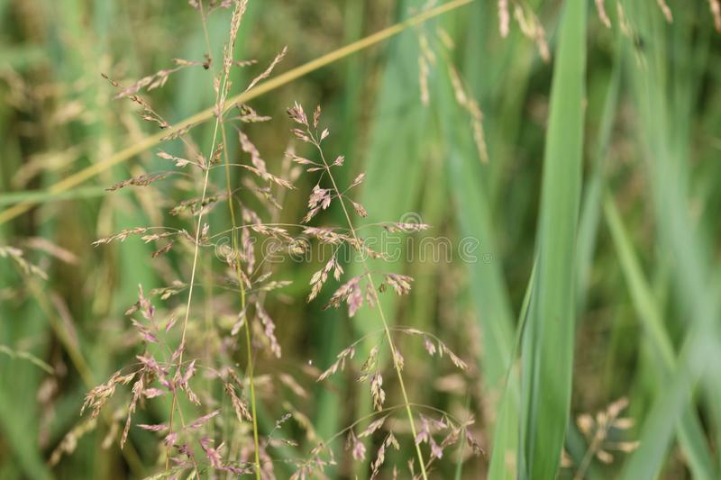 Poa pratensis, commonly known as Kentucky bluegrass, blue grass, smooth meadow grass, or common meadow grass. Close up of Kentucky bluegrass stock photos