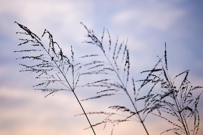 Poaceae grass flower in twilight stock image