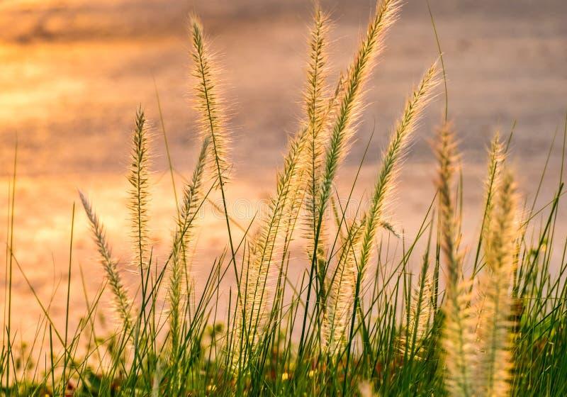 Poaceae in omhoog geschoten dicht royalty-vrije stock afbeeldingen