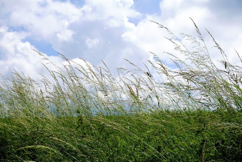 Poaceae op weide voor bewolkte blauwe hemel royalty-vrije stock afbeelding