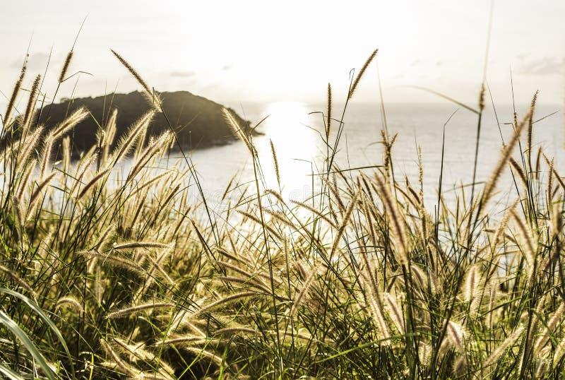 Poaceae pod zmierzchem i morzem zdjęcie stock