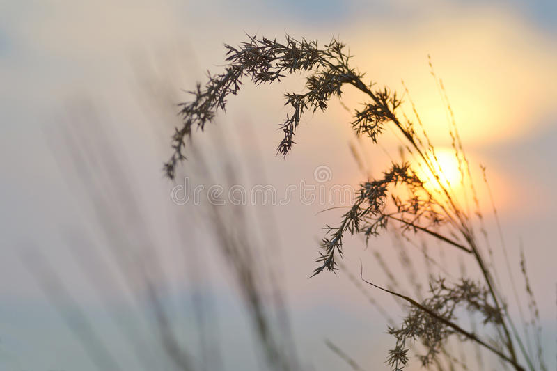 Poaceae sun. The silhouette of poaceae group in the background of sun rising stock photography