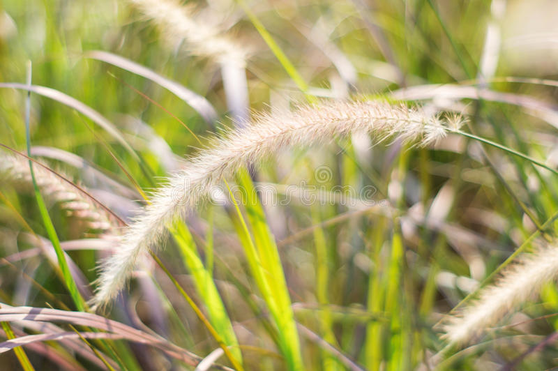 Poaceaegräsblomma royaltyfri bild