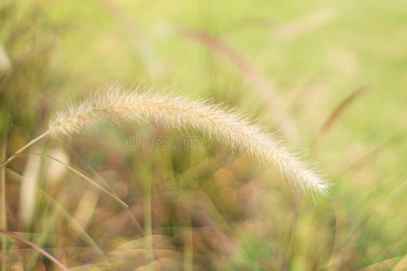 Poaceaegräsblomma royaltyfri fotografi