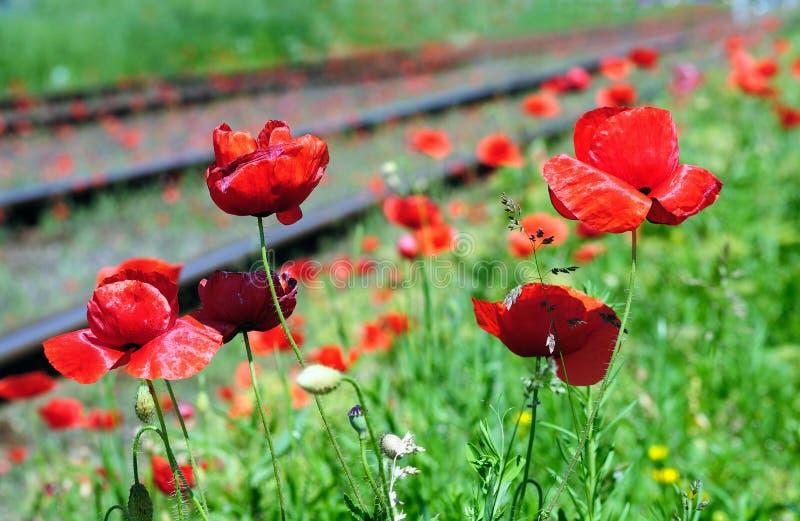 pobliski maczków kolejowy czerwony dziki obrazy stock