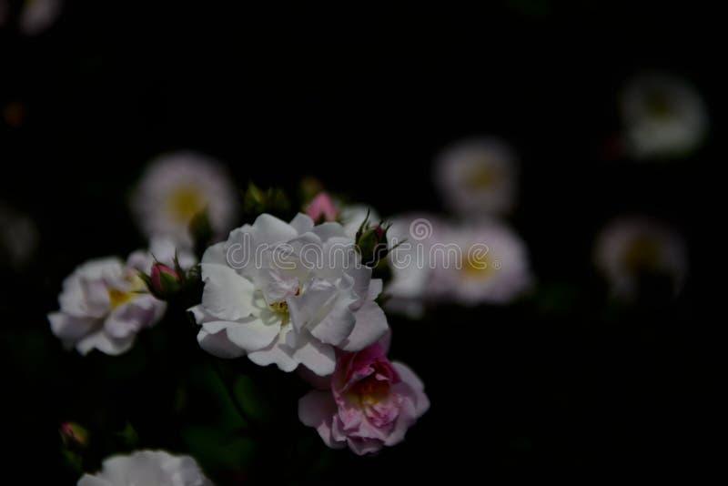 Poca abeja está recogiendo la miel en pequeño ‰ blanco del ¼ del ¼ ˆ2ï del flowersï imagen de archivo libre de regalías