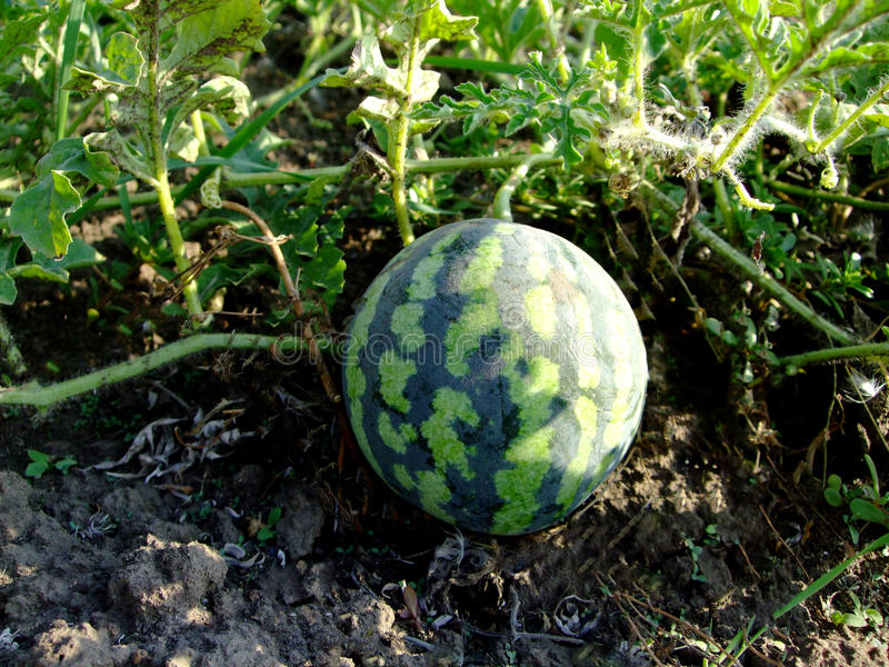 Poca anguria si sviluppa nel giardino immagine stock