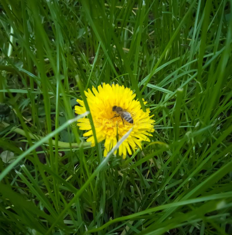 poca ape sul dente di leone fotografia stock