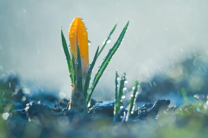 Poca azafrán de la flor en la lluvia de primavera fotografía de archivo