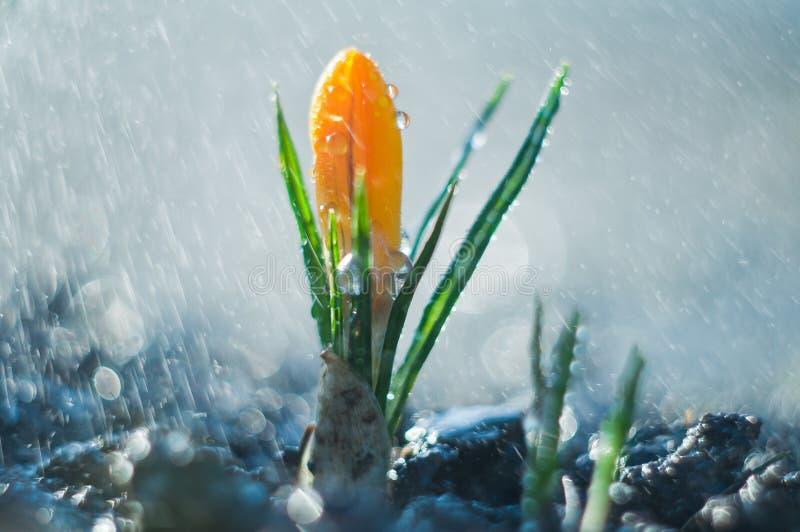Poca azafrán de la flor en la lluvia de primavera imagenes de archivo
