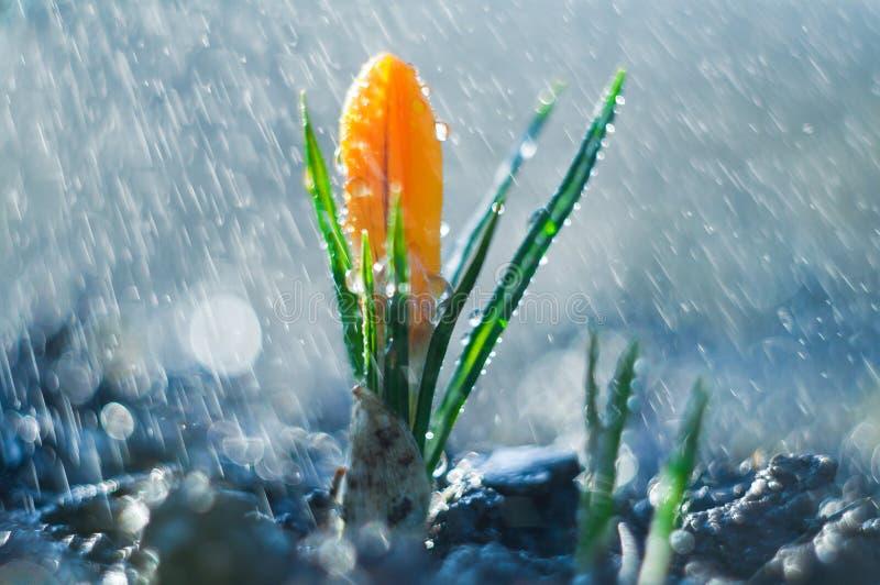 Poca azafrán de la flor en la lluvia de primavera imagen de archivo