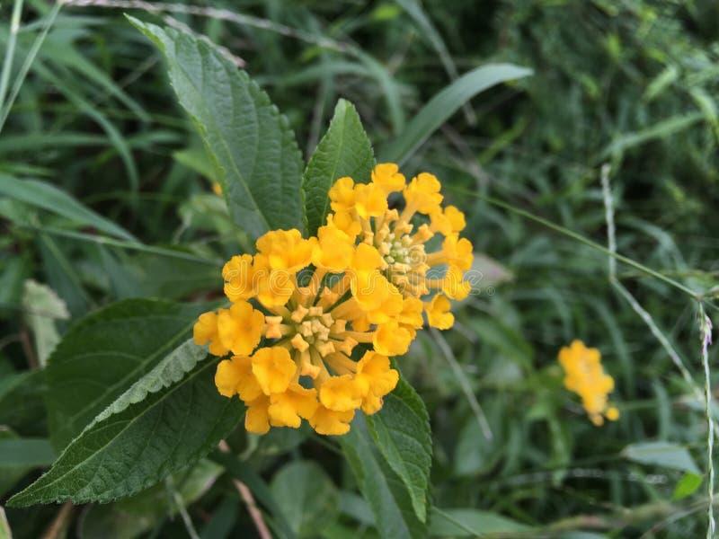 Poca bola amarilla de la flor foto de archivo