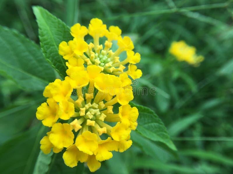 Poca flor amarilla foto de archivo libre de regalías