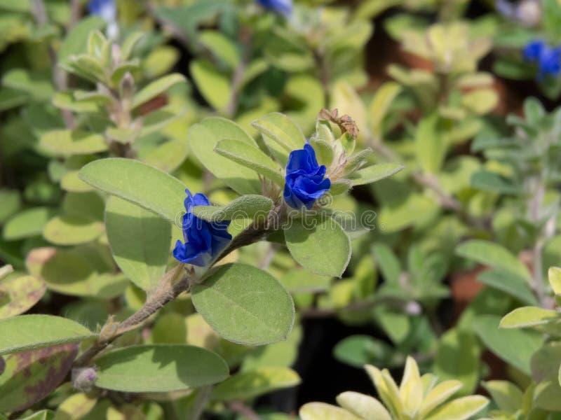 Poca flor azul en la planta fotografía de archivo