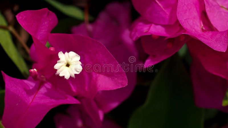 Poca flor blanca en rosa fotos de archivo libres de regalías