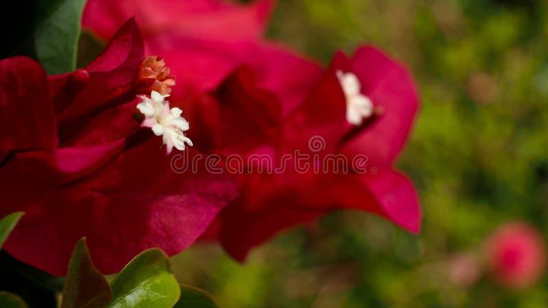 Poca flor blanca en rosa imagen de archivo
